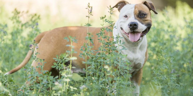 American Staffordshire Terrier Amstaff Luckys Welt Ch