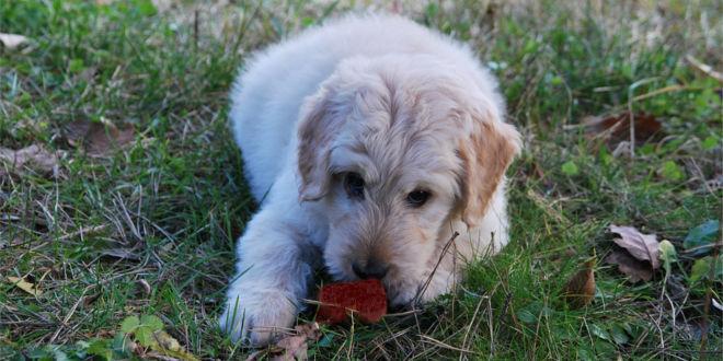 Koprophagie – warum fressen Hunde Kot?
