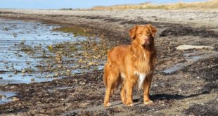 Nova Scotia Duck toller Retriever
