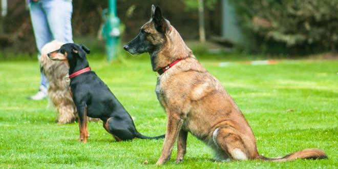 Obedience für Hunde