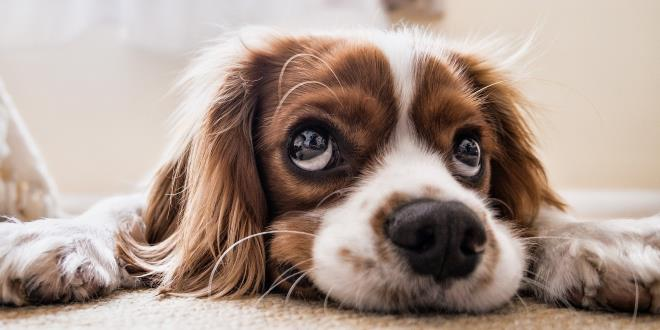 Akne bei Hunden
