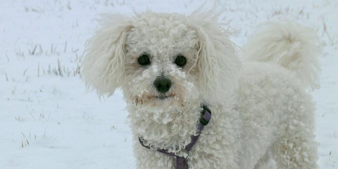 Bichon Frisé » Rassebeschreibung des Hundes