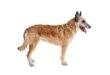 Laekenois (Belgischer Schäferhund)