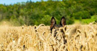 Gefahren der Grannen für Hunde