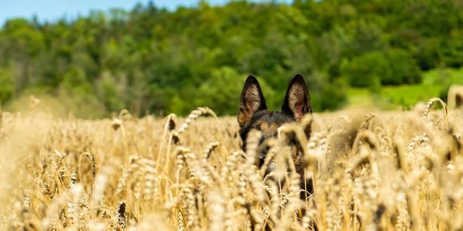 Die Gefahren der Grannen für Hunde